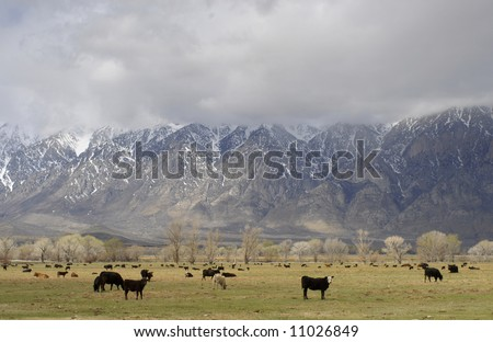 Cattle on a ranch beneath the eastern Sierra Nevada Mountains in California