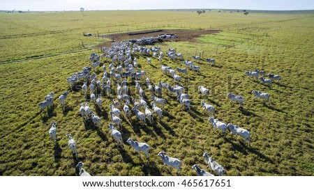 Cattle on pasture in the state of mato grosso in Brazil.