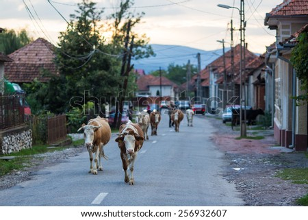 Cattle on the way home on the main road of a village in Transylvania Romania