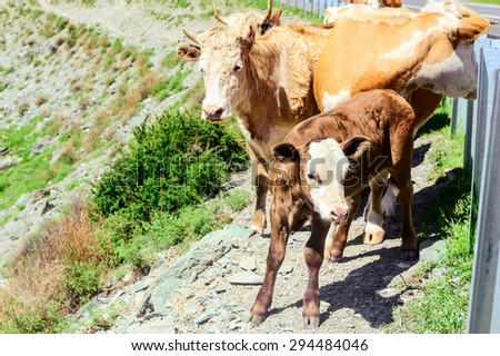 Cattle passing beside highway in Altai mountains in summer