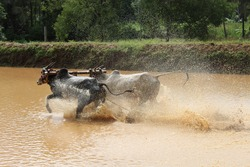 Cattle race in muddy water