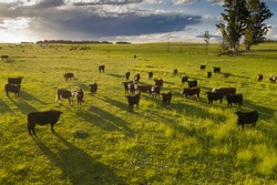 Cattle raising in pampas countryside, La Pampa province, Argentina.