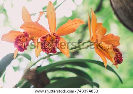 cattleya ,orchid flower garden