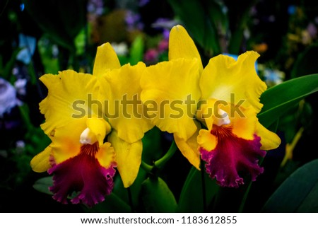 "Cattleya yellow orchids with red lips or ""queen of flowers"" big showy bloom and often used to make corsage. Cattleyas are epiphytes (air dwelllers), yellow Cattleya orchid isolated with green leaves."