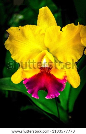 "Cattleya yellow red lip orchids or ""queen of flowers"" big showy bloom and often used to make corsage. Cattleyas are epiphytes (air dwelllers), yellow Cattleya red lip isolated with green leaves."