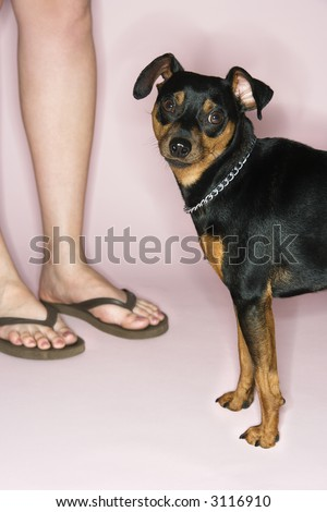 Caucasian female legs with Miniature Pinscher against pink background.