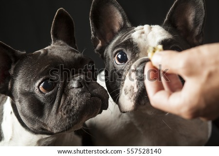 Caucasian male owner's hand feeding food to 2 french bulldogs, black and white puppies, interior studio shot, point of view, reward conditioning training behavior concept