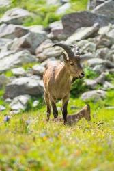 Caucasian mountain goats in their natural habitat. The West Caucasian tur (Capra caucasica)