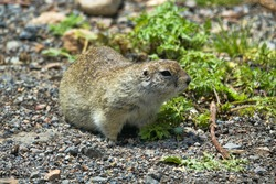 Caucasian Mountain ground squirrel (Spermophilus musicus) tunneling animal in mountain meadows. Caucasus, Carriers of infectious diseases (plague spot), pest of pastures, however, what cute animal