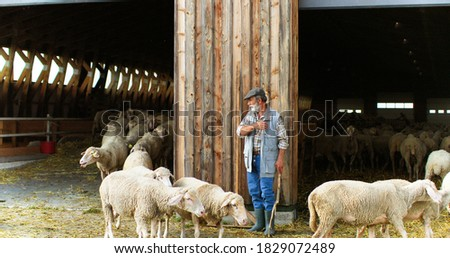 Caucasian old man pensioner working at livestock farm and leading sheep flock in and out of stable. Senior male shepherd with cattle. Countryside living. Village farming concept. Foto stock ©
