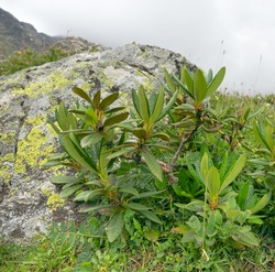 Caucasian rhododendron or Georgian snow rose (Rhododendron caucasicum) faded in late summer in mountain-meadow subalpine landscape of North Caucasus. Elbrus region. Caucasian endemic