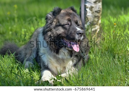 Caucasian Shepherd Dog in summer #675869641