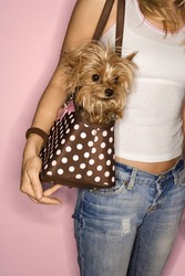 Caucasian young adult female with Yorkshire Terrier dog in bag.