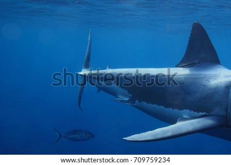 caudal keel of a great white shark, Carcharodon carcharias, Neptune Islands, South Australia, Indian Ocean #709759234