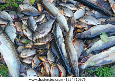 Caught crucians and pikes on green grass. Successful fishing. A lot of crucian carps and pikes. Freshly caught river fishes. Caught fishes after lucky fishing. Crucian carps and pikes #1524710675