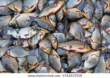 Caught crucians and pikes on green grass. Successful fishing. A lot of crucian carps and pikes. Freshly caught river fishes. Caught fishes after lucky fishing. Crucian carps and pikes #1542652928