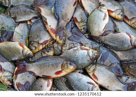 Caught crucians on green grass. Successful fishing. A lot of crucian carp (Carassius carassius). Freshly caught river fish. Caught fishes after lucky fishing. Crucian carps caught on fishing closeup