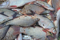 Caught crucians on green grass. Successful fishing. Heap of Carassius carassius. Freshly caught river fish. Caught fishes after lucky fishing. Crucian carps caught on fishing closeup