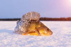 Caught fish common perch, European perch lies on the ice of the river. Winter fishing.