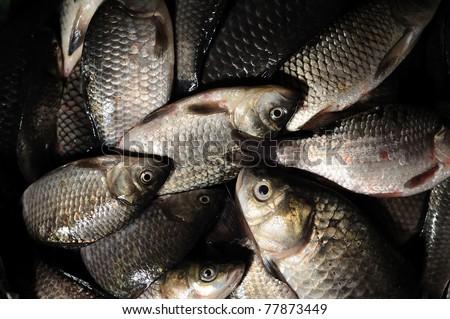 Caught fresh water fish crucian. Successful fishing
