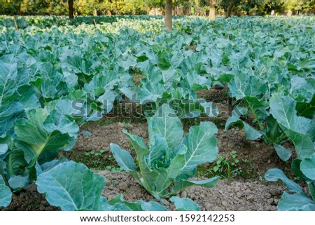 Cauli flower, brassica oleracea, being cultivated in an agriculture field. View of green farming of a village in West Bengal, India. Foto stock ©