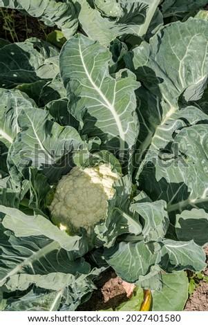 Cauliflower (Brassica oleracea var. botrytis) in vegetable garden Stock fotó ©