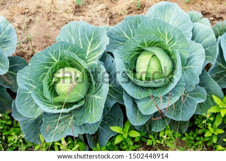 cauliflower farming in Indian farming field