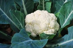 Cauliflower growing in the field