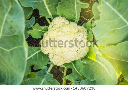 Cauliflower grows in the garden on a Sunny summer day, the concept of growing fresh vegetables #1433689238