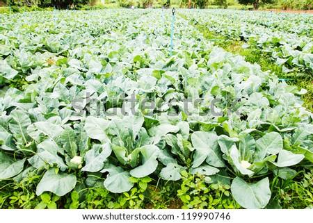 cauliflower plant, cabbage in vegetable garden, ingredient of italian cuisine - stock photo