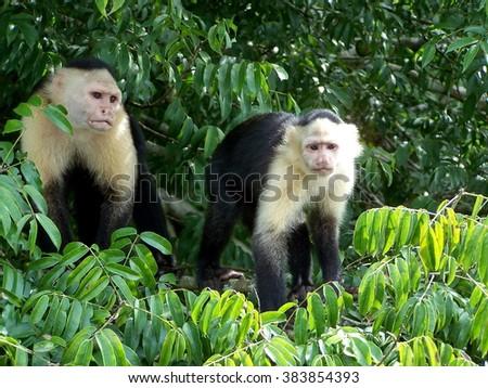 Shutterstock Caupchin monkeys on Monkey Island in Lake Gatun, on the Panama Canal