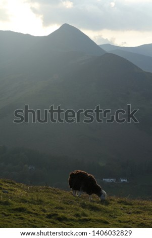 Causey Pike, Newlands Valley, Lake District. A Herdwick sheep grazing catbells fell. Spring evening clouds at sunset in the lake District