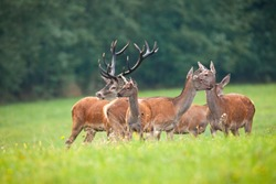 Cautious herd of red deer, cervus elaphus, looking around on meadow in autumn nature. Group of wild animals watching on green grass with forest in background.