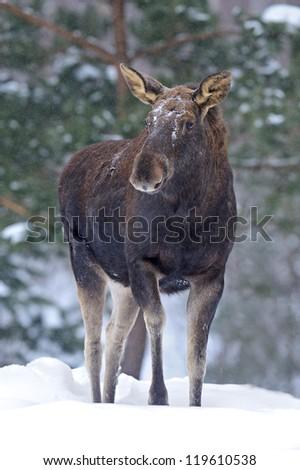cautious Portrait Elk winter forest