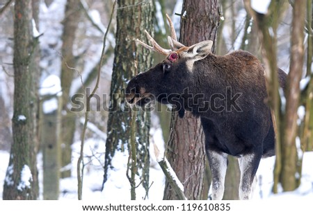 cautious Portrait moose winter forest