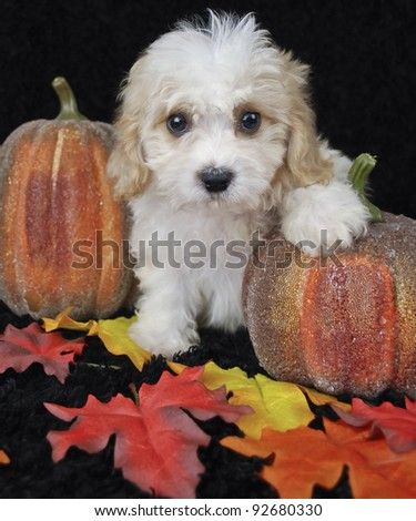 Cavachon puppy sitting with pumpkins and fall leaves on a black background.
