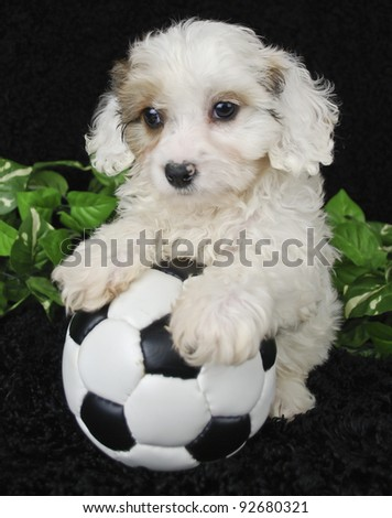 Cavachon puppy that looks like he is ready to play a soccer game on a black background.