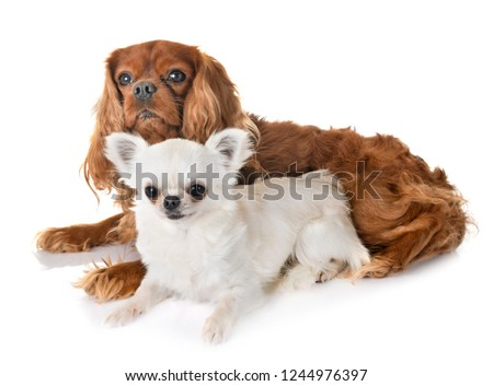 cavalier king charles and chihuahua in front of white background #1244976397