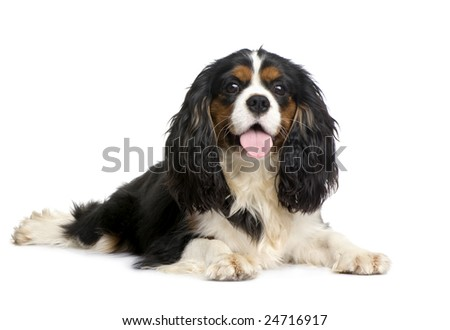 Cavalier King Charles (10 months) in front of a white background