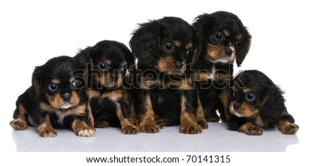 Cavalier King Charles puppies, 7 weeks old, in front of a white background