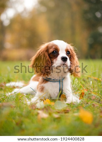 Cavalier king charles puppy in autumn park Photo stock ©