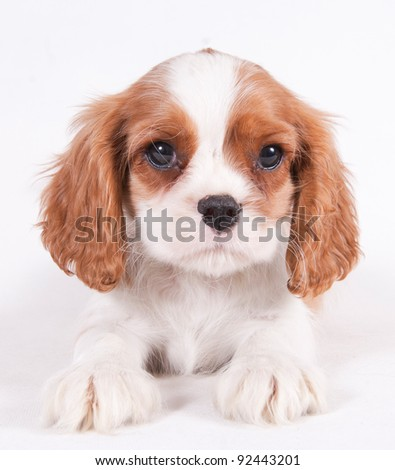 Cavalier King Charles puppy in front of a white background