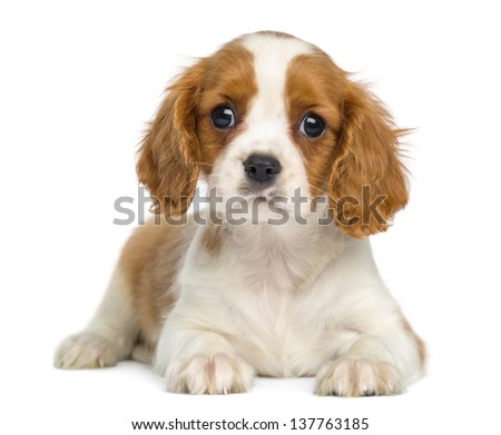 Cavalier King Charles Puppy lying and facing, isolated on white #137763185