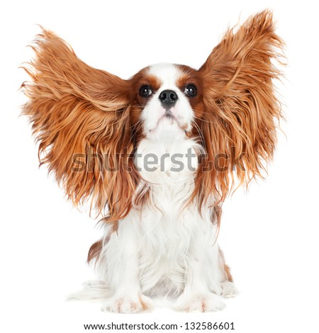 cavalier king charles spaniel dog ears in the air