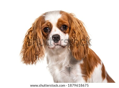 Cavalier King Charles Spaniel dog, isolated Photo stock ©