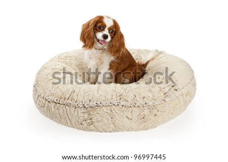 Cavalier King Charles Spaniel dog on a cream color dog bed against a white backdrop