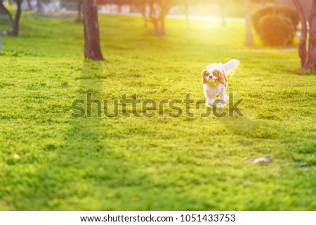 Cavalier King Charles Spaniel Dog playing with yellow ball on a summer outing. #1051433753