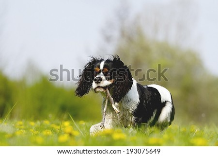 cavalier king charles spaniel dog puppy running in spring nature #193075649