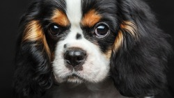 Cavalier King Charles Spaniel Dog Studio Portrait Isolated Over Black Background. Extremely close up portrait.