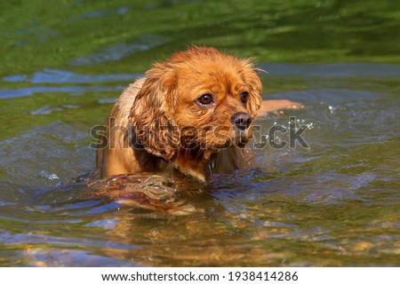 Cavalier King Charles Spaniel enjoying a dip in the river Photo stock ©